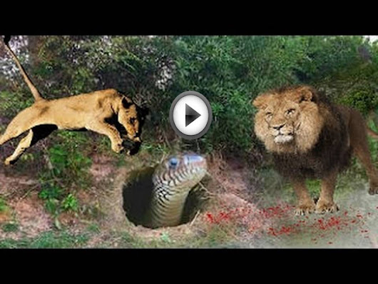 LİON VS SNAKE REAL FIGHT ►► LEOPARD PYTHON MONGOOSE COBRA GIANT ANACONDA COW TIGER WILD BOAR
