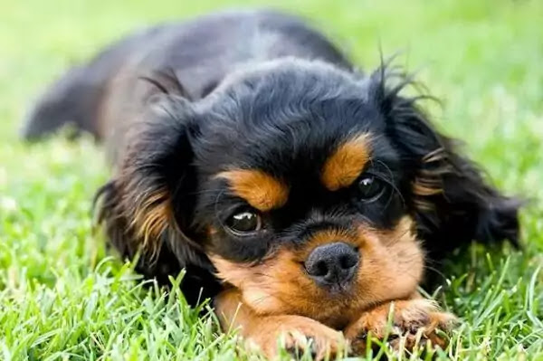Cavalier King Charles Spaniel Black and Tan Colour