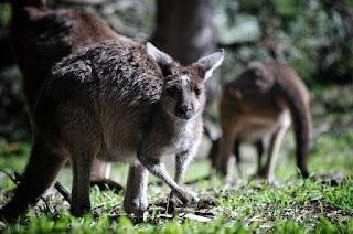 kangaroo words