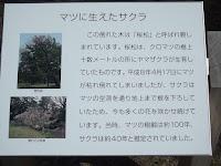 Reborn cherry tree story - Kyoto Gyoen National Garden, Japan