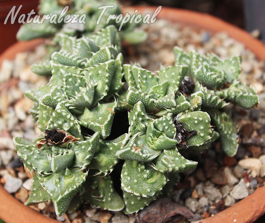 Planta suculenta del género Faucaria