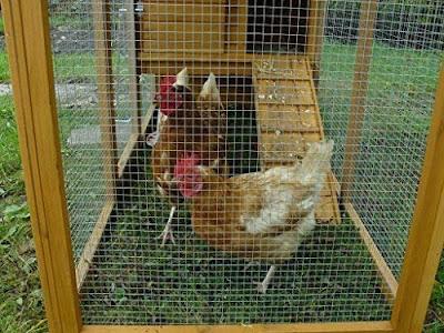 Chicken needs fencing