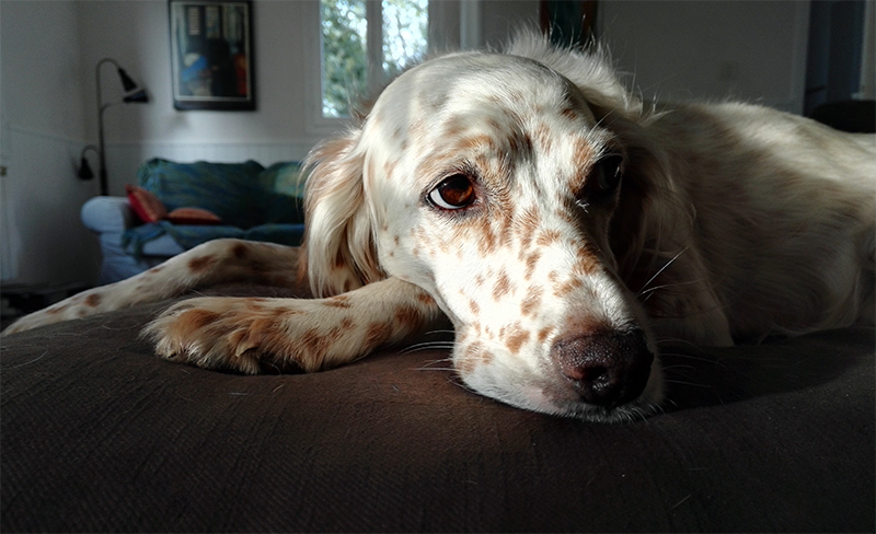 Elsa, and English Setter dog, looking up and thinking about the pros and cons of her list