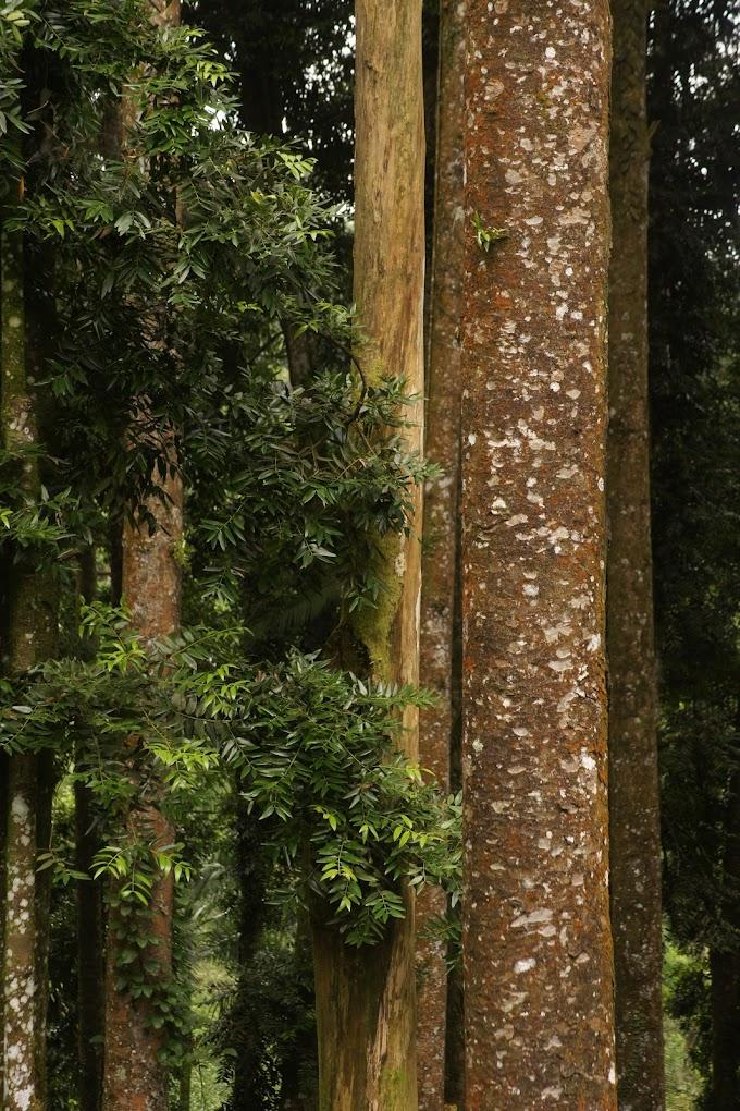 Pohon Damar di Baturaden