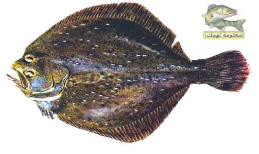 أنواع السمك في البحر الأحمر _ سمك موسي