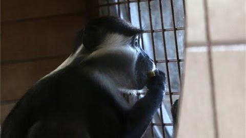 Örvös mangábék érkeztek a miskolci állatkertbe
