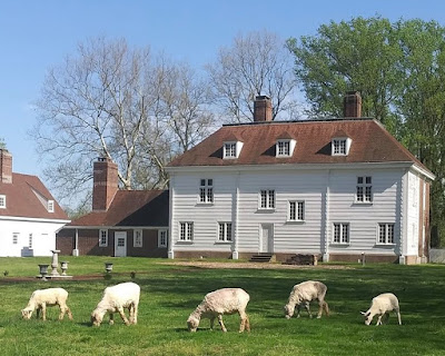5 sheep graze with a stately home in the background. The sheep have been shorn for the summer and are all facing toward the left of the frame.