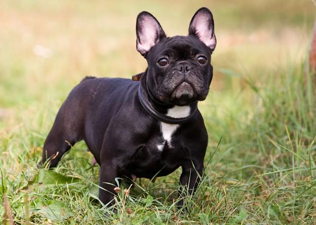 Giống chó Bull Pháp có gì đặc biệt? Giá bán bao nhiêu tiền?