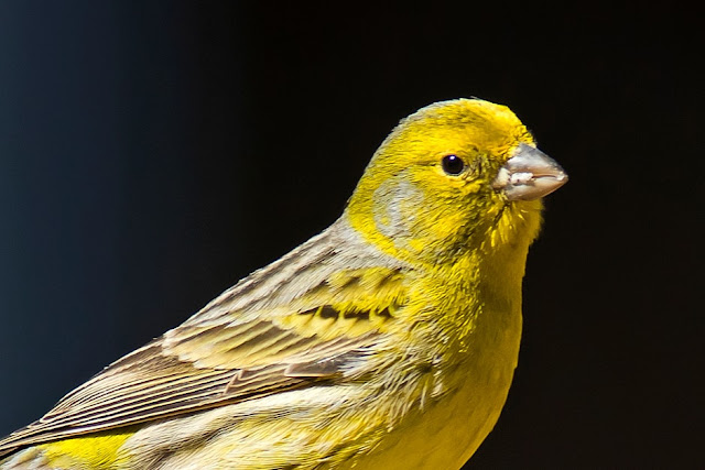 Atlantic Canary - Some Interesting Facts About Atlantic Canaries