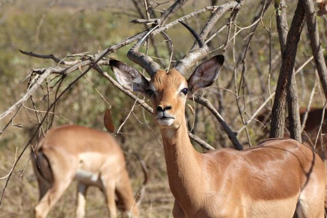 Impala de Kruger