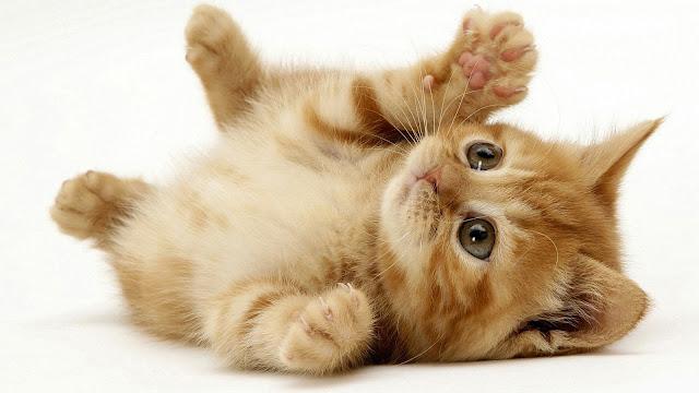 Vantagens de ter um gato como animal de estimação