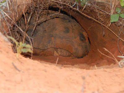 gopher tortoise in burrow