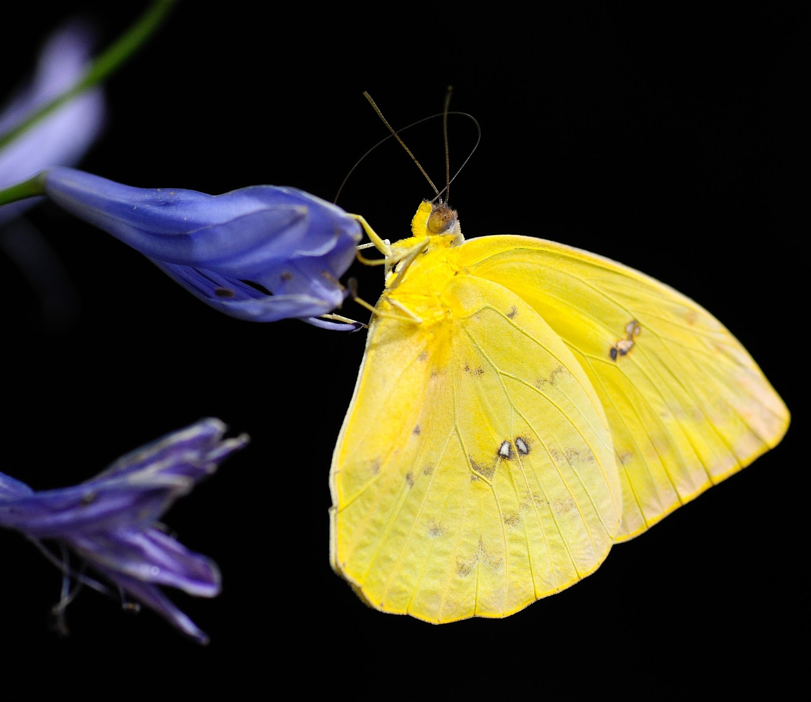 Image of a yellow butterfly.