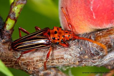 Cerambicido rojo (Chydarteres striatus)