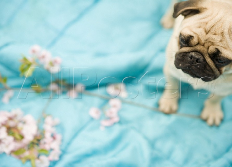 Mops-Poster Pug on a turquoise blanket