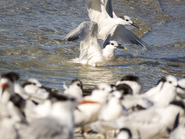 Terns splashing around in Naples, Florida