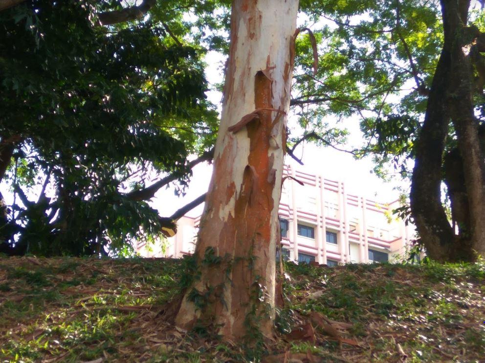 Eucalyptus tree, Singapore
