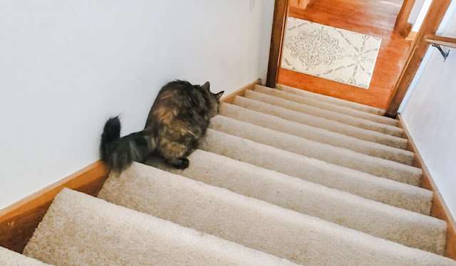 Tortoiseshell cat with ataxia navigates the stairs