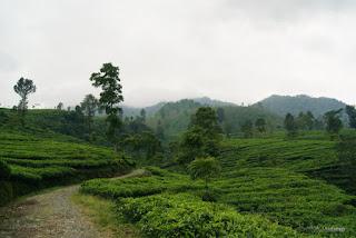 Alami Tempat Wisata Perkebunan Teh Medini