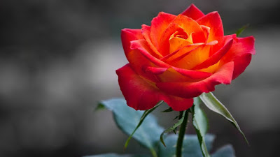 rose flower images gallery