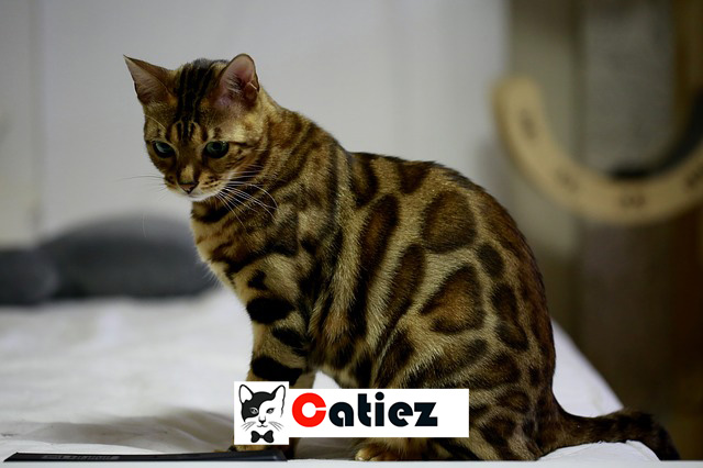 Bengal Cat - all you want to know about Bengal Cats