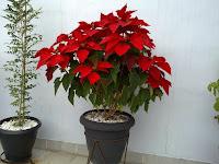 Euphorbia pulcherrima, esse arbusto de origem mexicana, é conhecido como bico-de-papagaio, rabo-de-arara, papagaio, cardeal, flor-do-natal, flor-de-páscoa, estrela-do-natal . Seu nome científico significa 'a mais bela das eufórbias'.