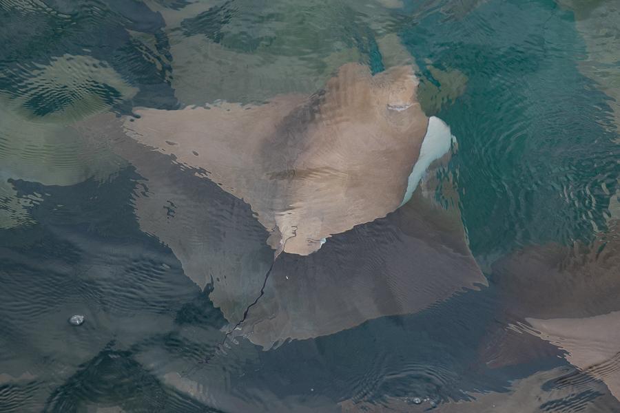 Oman Cownose Ray