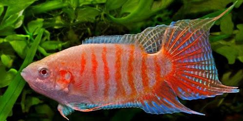 Ikan cupang paradise