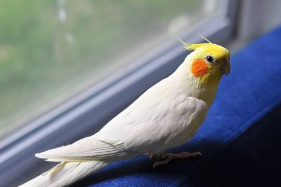 كوكاتيل صنف لاتينو ذكر male cockatiel