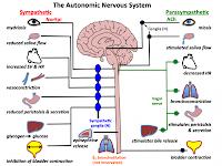 Sistem Saraf Otonom (SSO)