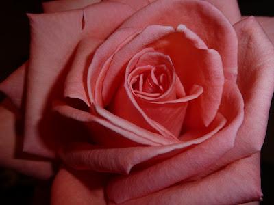Кораллово-розовая роза