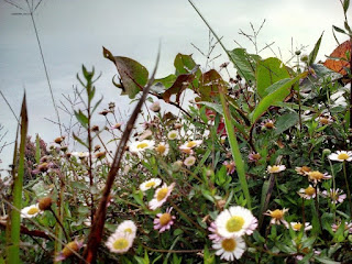 Bunga Daisy Di Gunung Prau