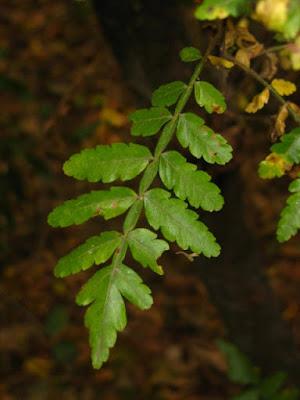 Quebrachillo colorado (Athyana weinmanniifolia)
