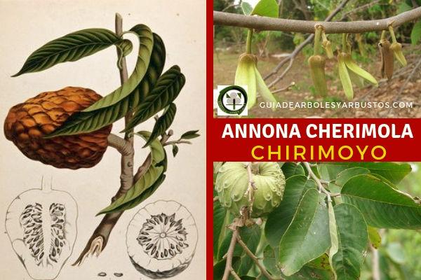 Chirimoyo, Annona cherimola, es un árbol frutal que rara vez sobrepasa los 8 metros, de corteza lisa.