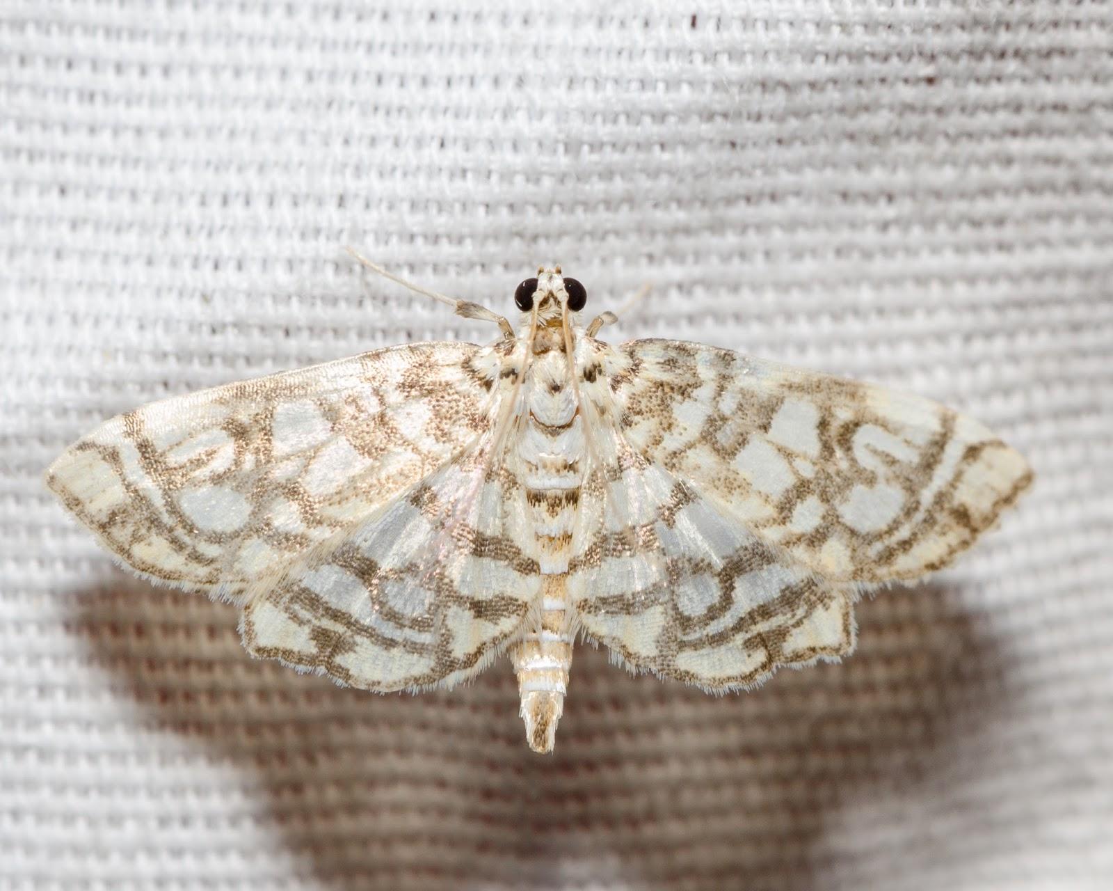 Bog Lygropia (Lygropia rivulalis)