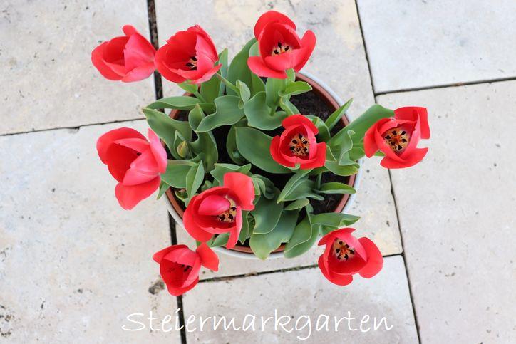 gefüllte-Tulpen-rot-Steiermarkgarten