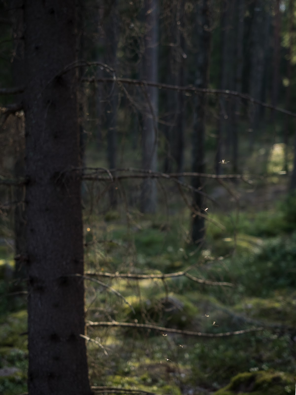Luontokuva hyttynen Emäsalo Porvoo
