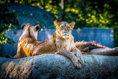 3d lion wallpaper download