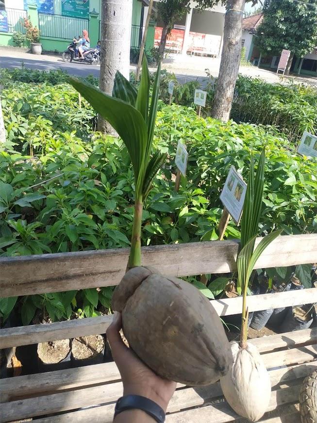 Bibit Kelapa Wulung Kelapa hijau Tidore Kepulauan