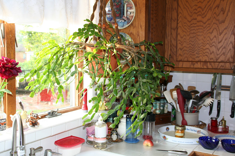 How To Prune A Christmas Cactus.Yes I Talk To Plants Christmas Cactus Update 4