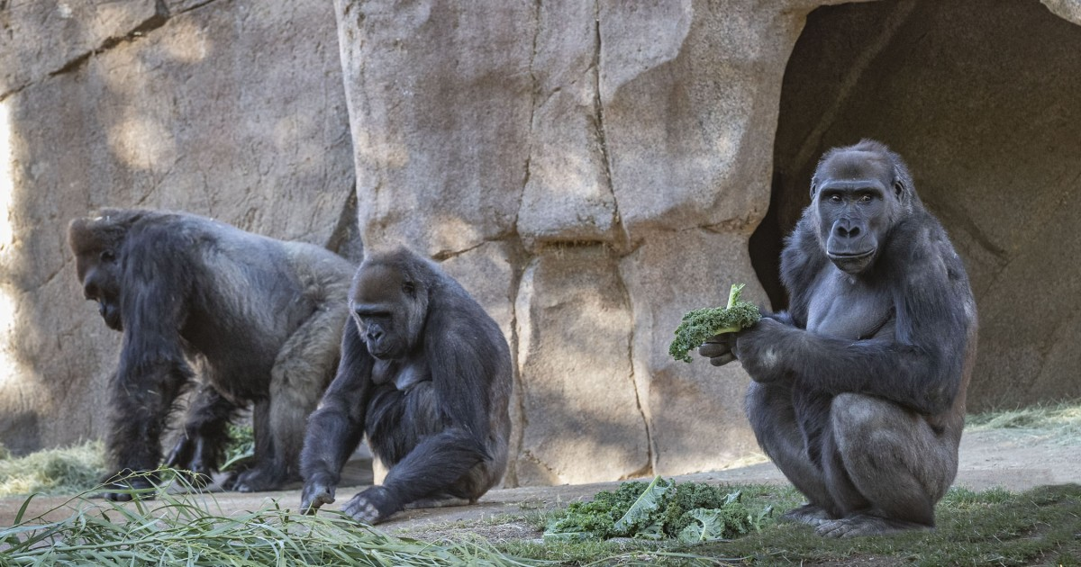 Gorilas del zoológico de San Diego se recuperan luego de contraer coronavirus