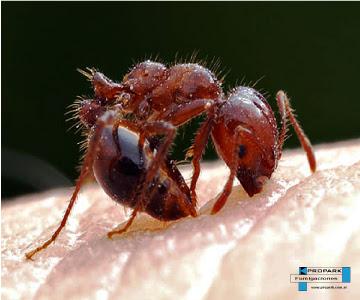Hormigas Coloradas o de Fuego Solenopsis Invicta
