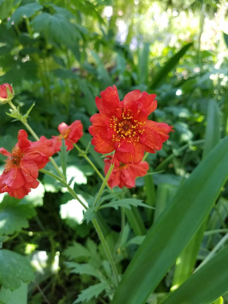 growing a garden in davis garden blogger bloom day april 2017