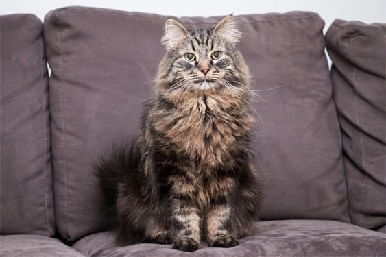 Kissa istuu sohvalla ja katsoo kameraan