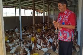 pengalaman ternak ayam joper