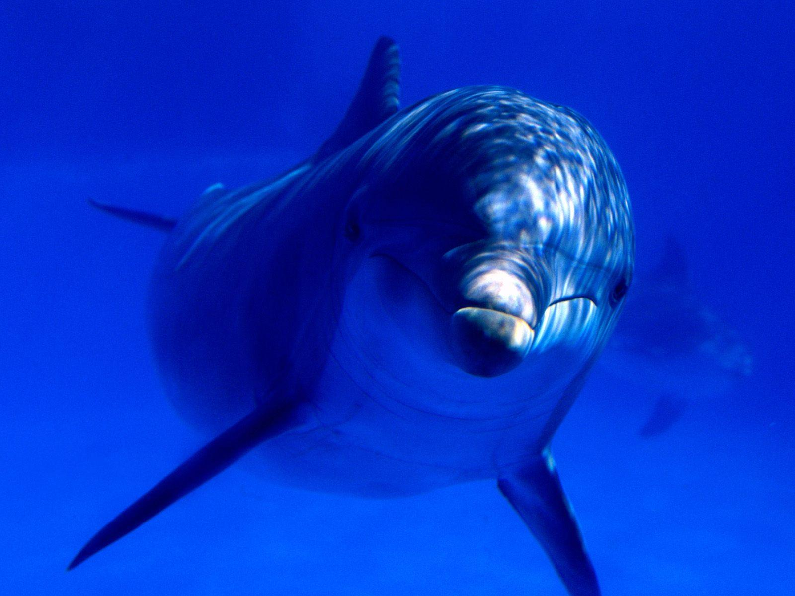 HD Dolphin Wallpapers - HD Animal Wallpapers