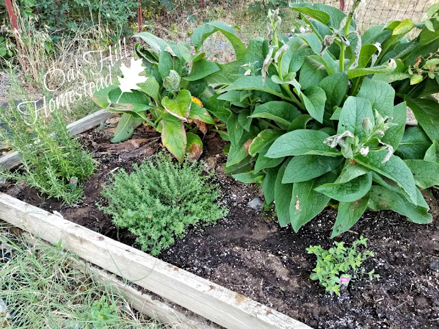 The perennial bed with rosemary, thyme, oregano, comfrey and more.