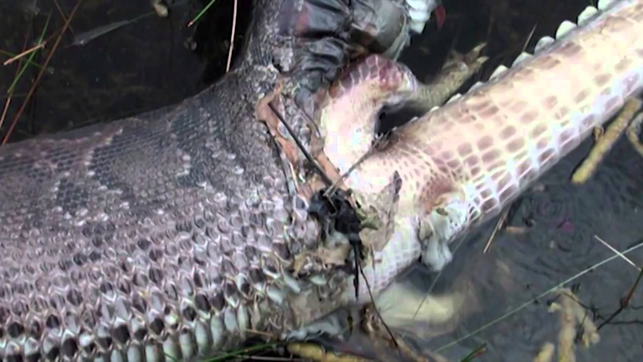 Anaconda Eating Alligator And Blowing