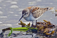 Western Sandpiper – Uplands, BC – Sept. 2007 – photo by Alan D. Wilson