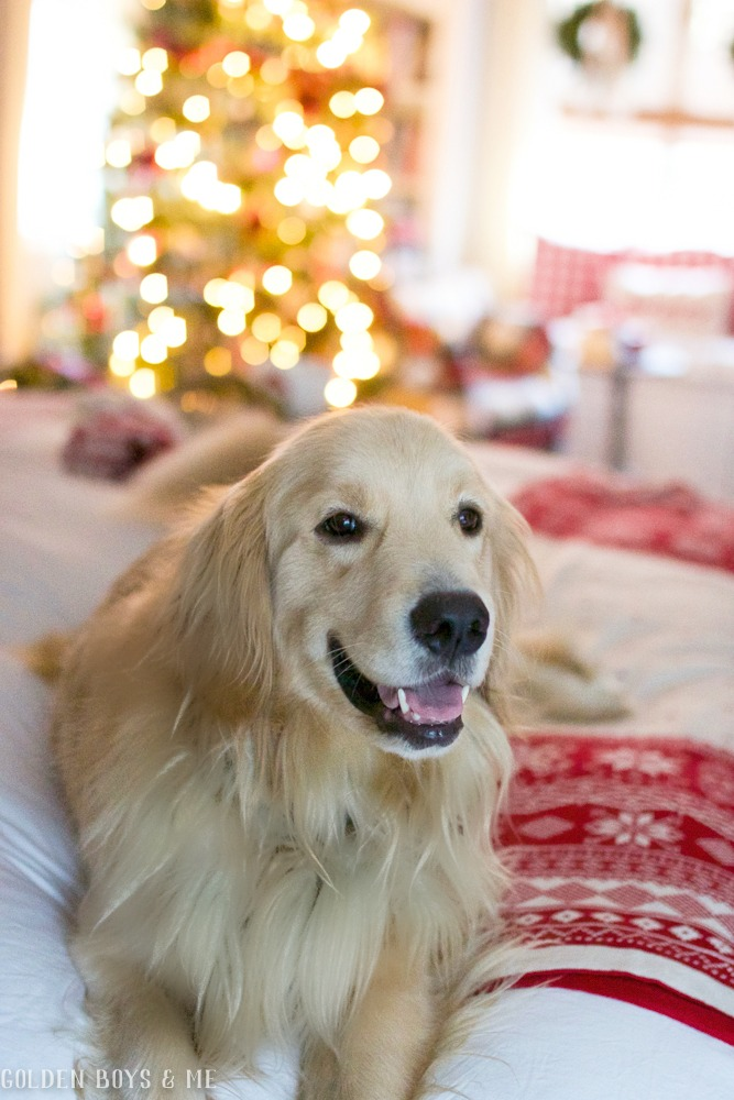 Golden Retriever in Christmas bedroom - Golden Boys and me Holiday Home Tour 2017